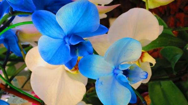 orchideen-in-blau-und-weiß-blumendeko-dekoration-orchidee-pflege