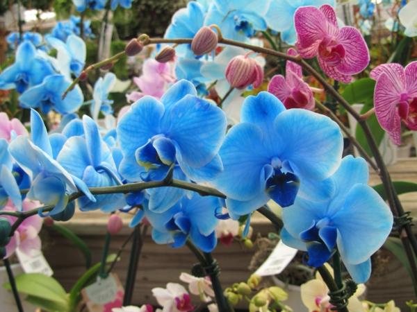 orchideen-pflege-blumendeko-blau-orchideen-schneiden