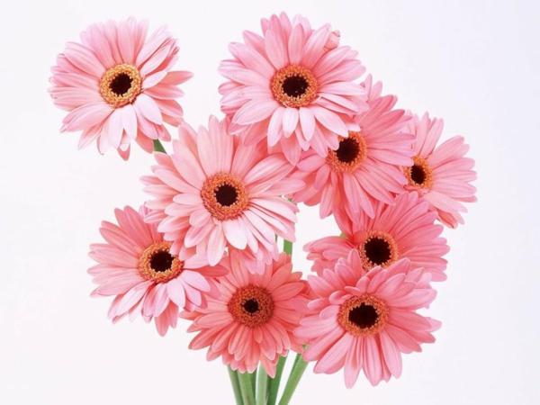 rosa-schnittblumen-zimmerpflanzen-gerbera-mehrere-farben-blumen-für-zuhause