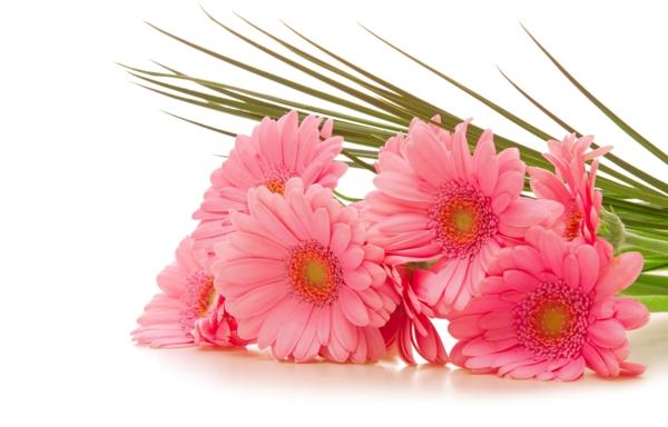 rosa-zimmerpflanzen-gerbera-mehrere-farben-blumen-für-zuhause- Gerbera - Blume