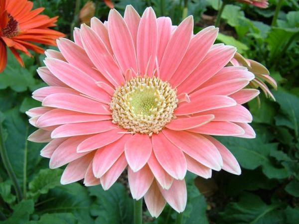 rosa--zimmerpflanzen-gerbera-mehrere-farben-blumen-für-zuhause-