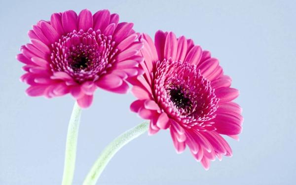 purple_gerbera_daisies.psd