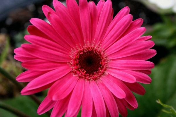 Gerbera - Blume mit vielen schönen Farbvarianten!
