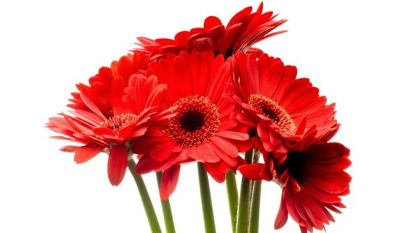 rote-zimmerpflanzen-gerbera-mehrere-farben-blumen-für-zuhause