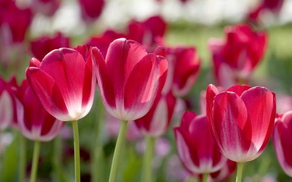 rote_fruhlingblume-bilder-tulpen-pflanzen-die-tulpe-tulpen-aus-amsterdam-tulpen-bilder-tulpen-kaufen