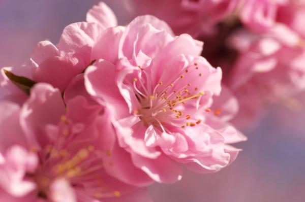 sakura-pink-flower-soft-blurry-bright-spring-flowers-macro