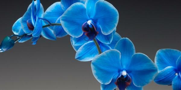 sapphire_orchidee-pflege-blumendeko-blau-orchideen-deko