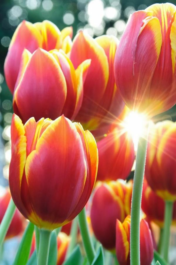 schöne-bilder-tulpen-pflanzen-die-tulpe-tulpen-aus-amsterdam-tulpen-bilder-