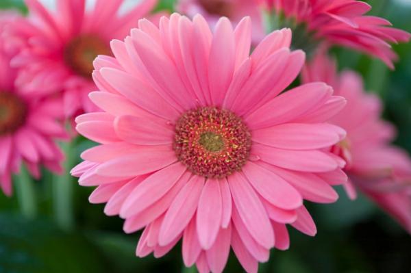 schöne-farbe-zimmerpflanzen-gerbera-mehrere-farben-blumen-für-zuhause