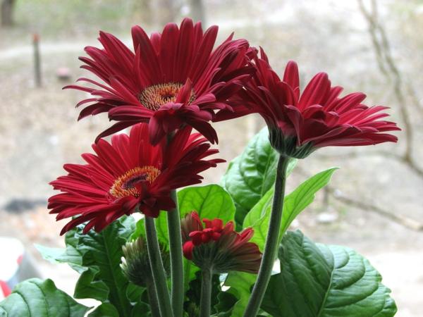 schöne-gartengestaltung-mit-schönen-blumen-sommerblumen-gerbera-schnittblumen-zimmerpflanzen