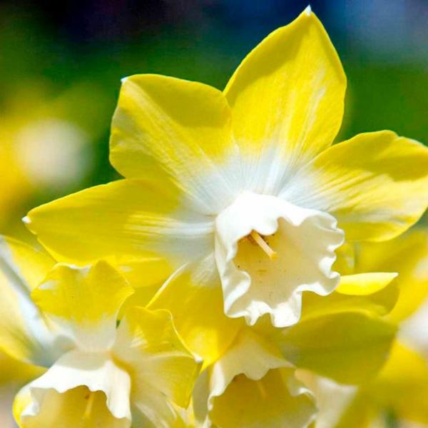 schöne-gelbe-narzisse-gartenpflanzen-deko-für-den-garten-frühlingsblumen