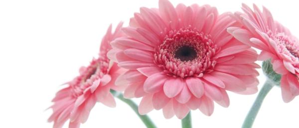 schöne-rosa-schnittblumen-zimmerpflanzen-gerbera-mehrere-farben-blumen-für-zuhause