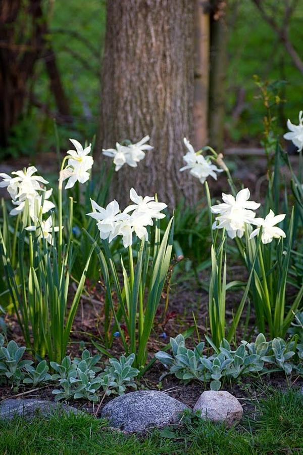 schöne-weiße-narzisse-gartenpflanzen-deko-für-den-garten-frühlingsblumen-