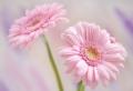 Gerbera – Blume mit vielen schönen Farbvarianten!