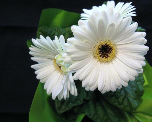 schöner-garten-gestalten-frühlingsblumen-gerbera-sommerblumen-in-weiß
