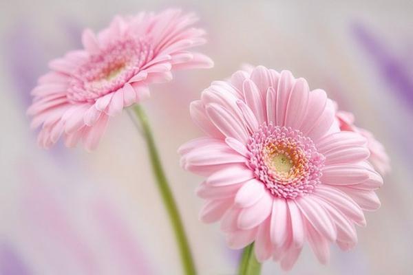 schöner-garten-gestalten-frühlingsblumen-gerbera-sommerblumen Gerbera - Blume