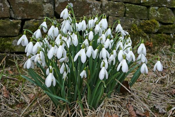 schneeglöckchen-Galanthus-die-ersten-blumen-des-jahres-schneeweißen-blumen-im-garten
