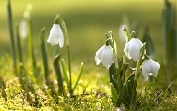 schneeglöckchen-erste-frühlingsblume-weiß
