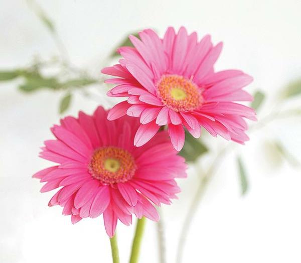 schnittblumen-in-rosa-zimmerpflanzen-gerbera-mehrere-farben-blumen-für-zuhause