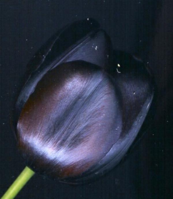 schwarze-tulpe-foto-von-ganz-nahem-genommen