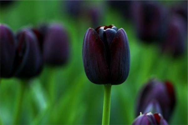 schwarze-tulpen-auf-einem-wiesen