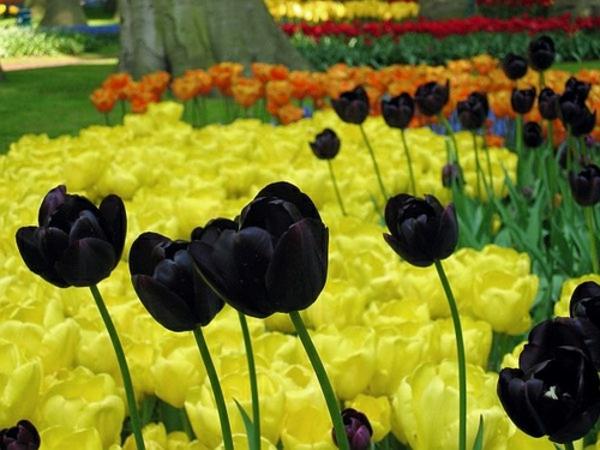 schwarze-tulpen-und-gelbe-blumen-dahinter