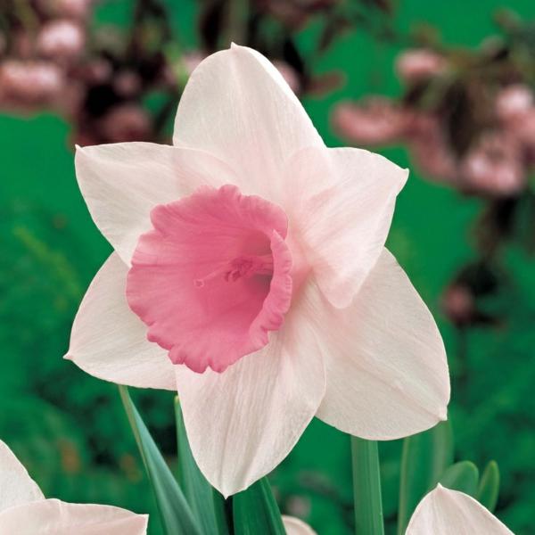 super-schöne-rosa-narzisse-gartenpflanzen-deko-für-den-garten-frühlingsblumen