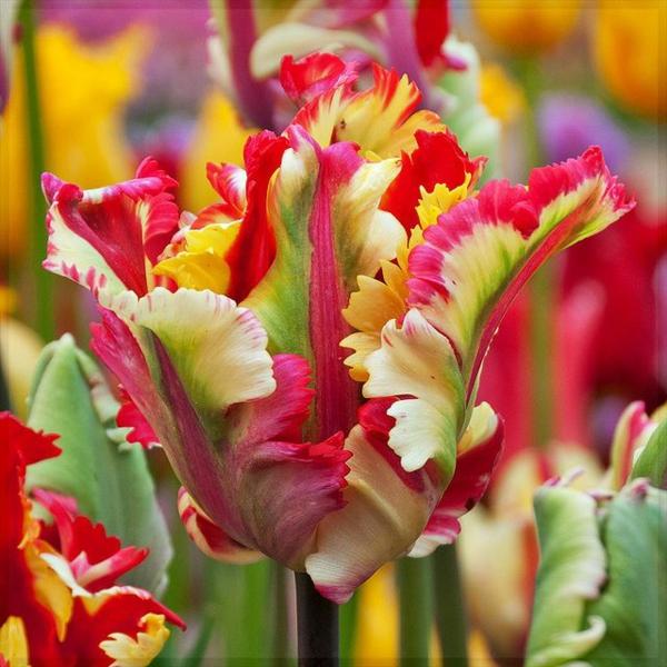 tolle-bilder-tulpen-pflanzen-die-tulpe-tulpen-aus-amsterdam-tulpen-bilder-tulpen-kaufen