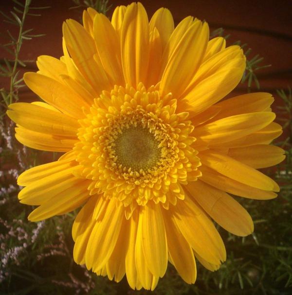 tolle-gartengestaltung-mit-schönen-blumen-sommerblumen-gerbera-schnittblumen-zimmerpflanzen-gelb