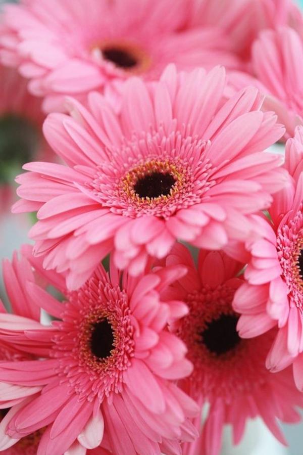 tolle-gartengestaltung-mit-schönen-blumen-sommerblumen-gerbera-schnittblumen-zimmerpflanzen-in-rosa