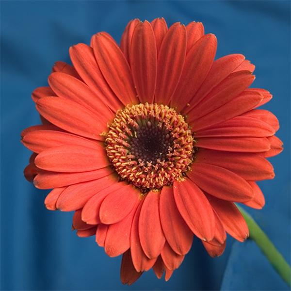 tolle--zimmerpflanzen-gerbera-mehrere-farben-blumen-für-zuhause