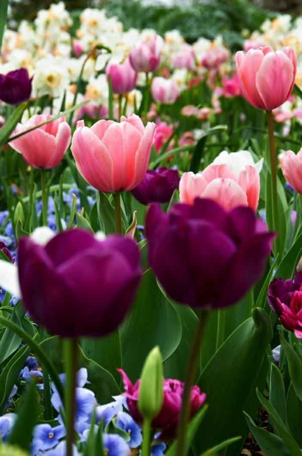 -tulpen-pflanzen-die-tulpe-tulpen-aus-amsterdam-tulpen-bilder-tulpen-kaufen