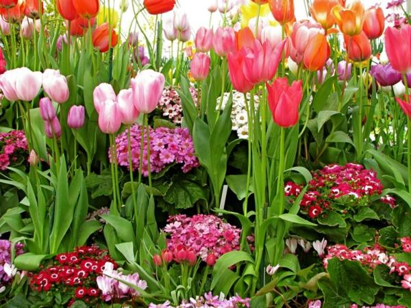 -tulpen-pflanzen-die-tulpe-tulpen-aus-amsterdam-tulpen