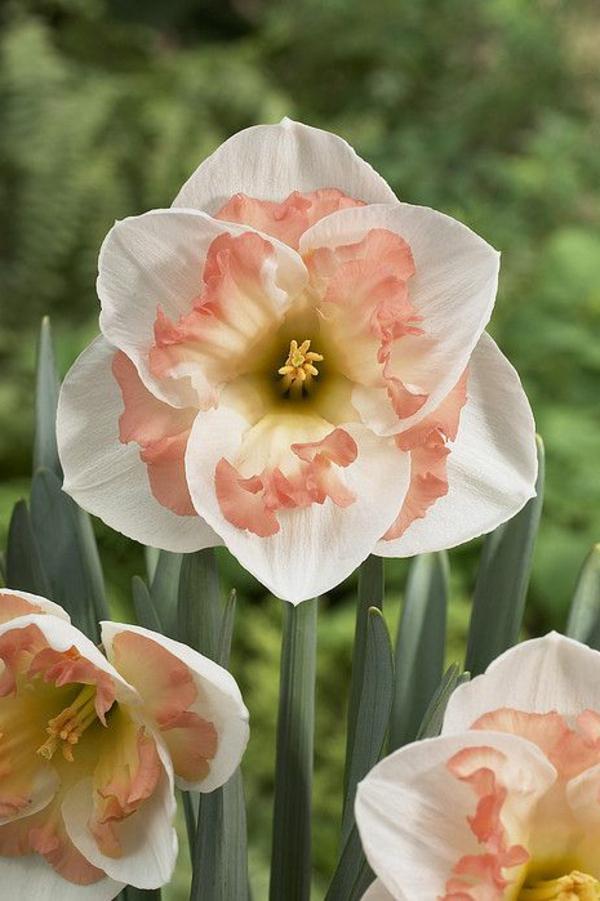 unikale-narzisse-gartenpflanzen-deko-für-den-garten-frühlingsblumen