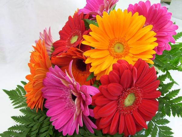 verschiedene-farben-zimmerpflanzen-gerbera-mehrere-farben-blumen-für-zuhause