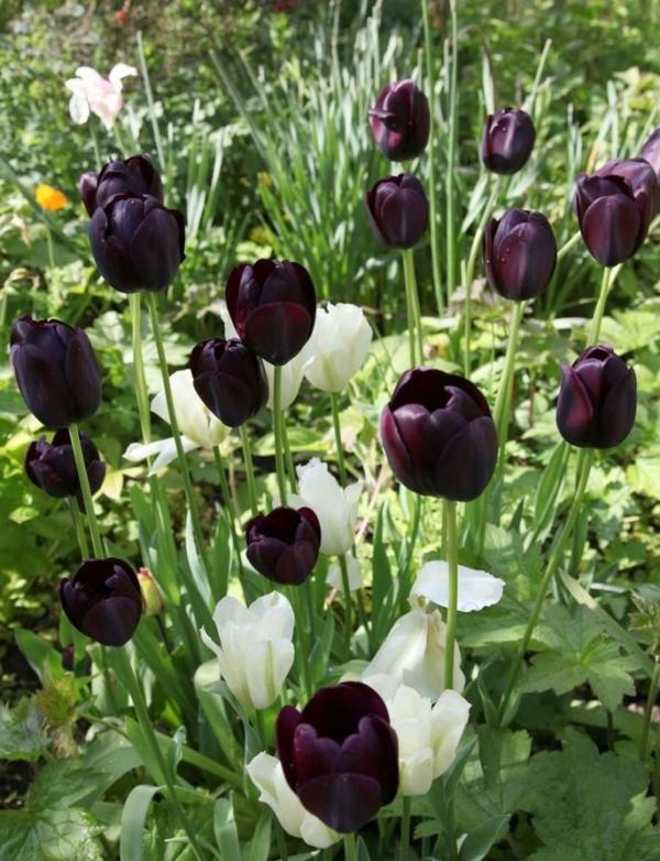 viele-herrlich-aussehende-schwarze-und-weiße-tulpen