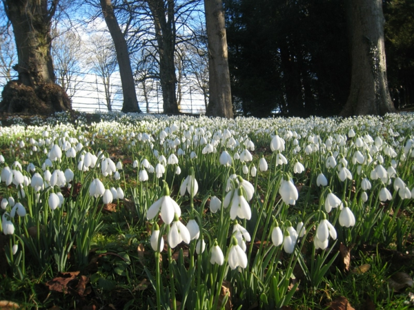 viele-weiße-blumen-galanthus-nivalis-amaryllisgewächse-schneeweiße-blume-pflanzen
