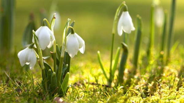 weiße-blumen-galanthus-nivalis-amaryllisgewächse-schneeweiße-blume-pflanzen