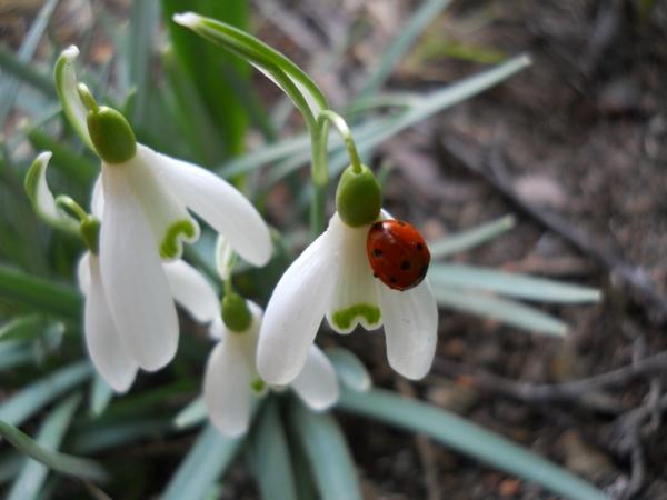 -weiße-blumen--galanthus-nivalis-amaryllisgewächse-schneeweiße-blume-pflanzen