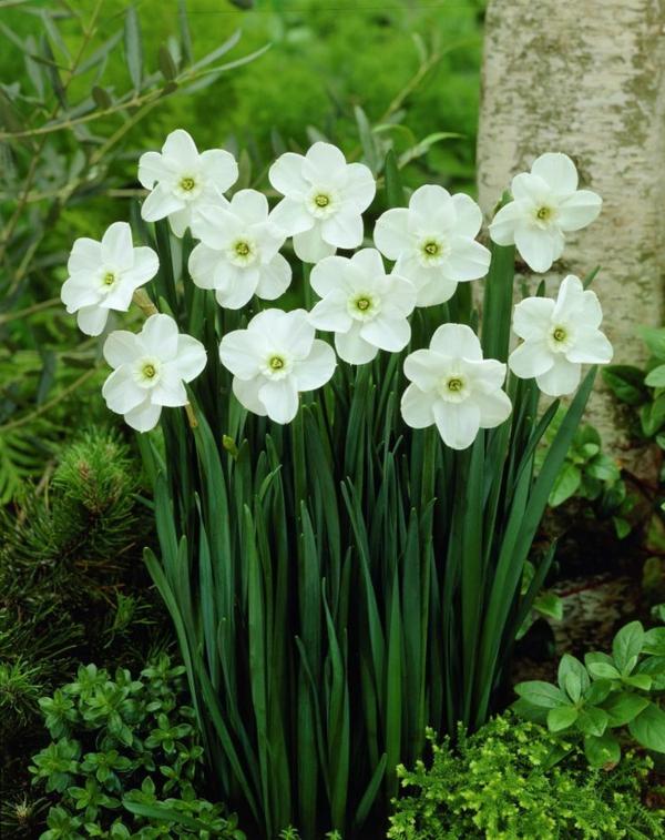 weiße-narzisse-gartenpflanzen-deko-für-den-garten-frühlingsblumen-