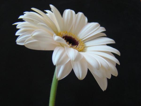 weiße---zimmerpflanzen-gerbera-mehrere-farben-blumen-für-zuhause