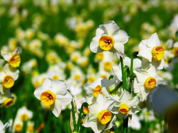 wilde-narzisse-gartenpflanzen-deko-für-den-garten-frühlingsblumen