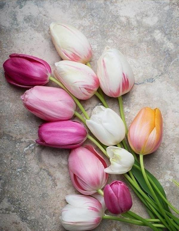 wunderbare-bilder-tulpen-pflanzen-die-tulpe-tulpen-aus-amsterdam-tulpen-bilder-tulpen-kaufen
