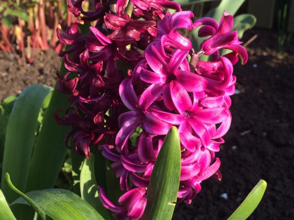 wunderbare-frühlingsblume-hyazinthe-pflanzen-rosa-blumen-