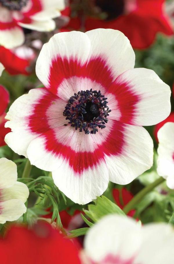 wunderbare-frühlingsblume-rot-weiß