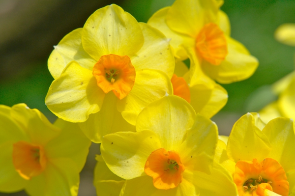 wunderbare-narzissen-pflanzen-gelbe-blumen-