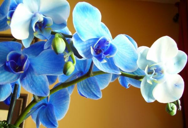 wunderbare-orchidee-in-blauen-nuancen-schöne-blumendeko-blumendekoration