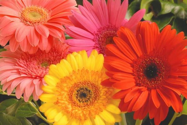 wunderbarer-garten-gestalten-frühlingsblumen-gerbera-sommerblumen