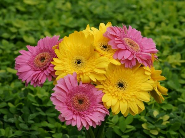wunderbarer--garten-gestalten-frühlingsblumen-gerbera-sommerblumen