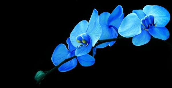 wunderbares-foto-orchidee-in-blau-auf-schwarzer-hintergrund-